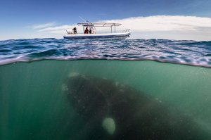 A southern right whale and her calf swim under a whale-watching boat off the Valdés Península, Patag