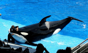 The psychological stress of orcas in captivity is massive.