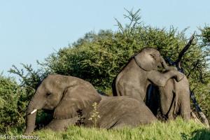 Elephants lounge in grass in Botswana