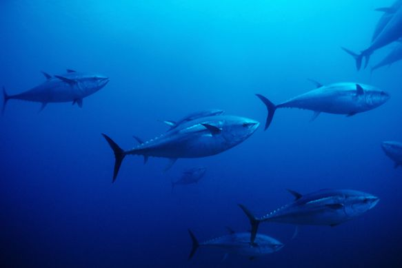 Bluefin tuna (Photo: Franco Banfi/Getty Images)